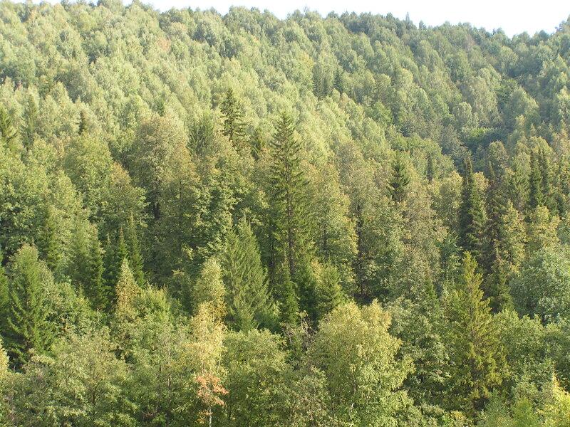 В этом лесу водятся и зайцы, и волки, и медведи... (04.07.2013)