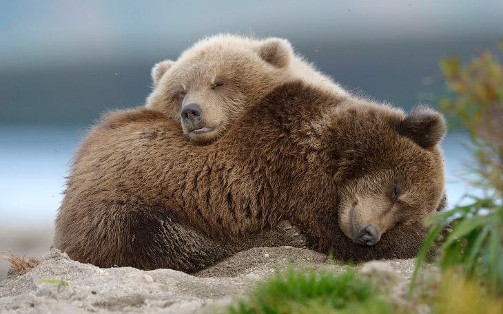 Быть или не быть уникальному российскому фильму о медвежьей семье? (13 фото)