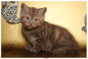 лиловая пятнистая британская короткошерстная кошечка