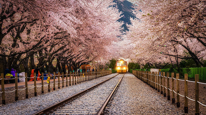 Цветущие сакуры вдоль железнодорожной станции Чинхэ (Южная Корея)