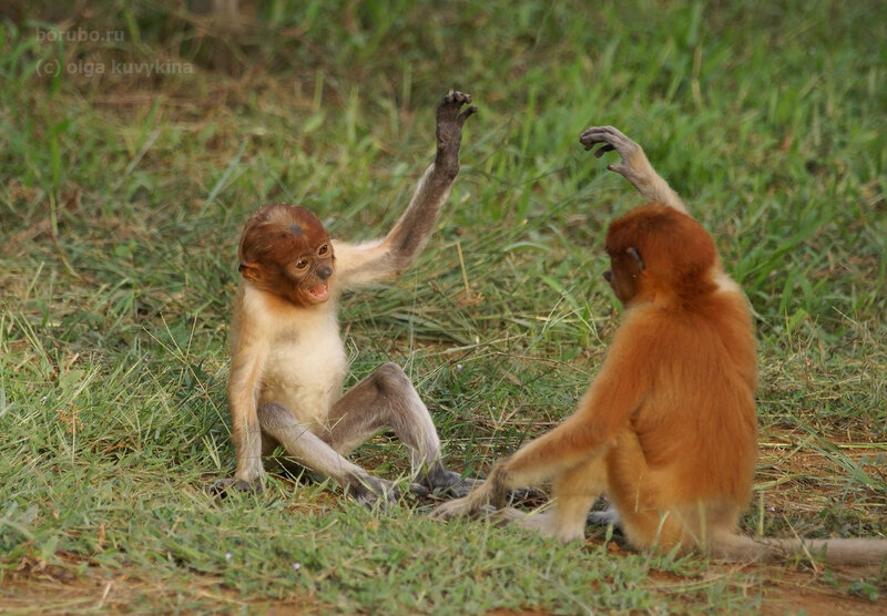 Детеныши носачей, остров Борнео