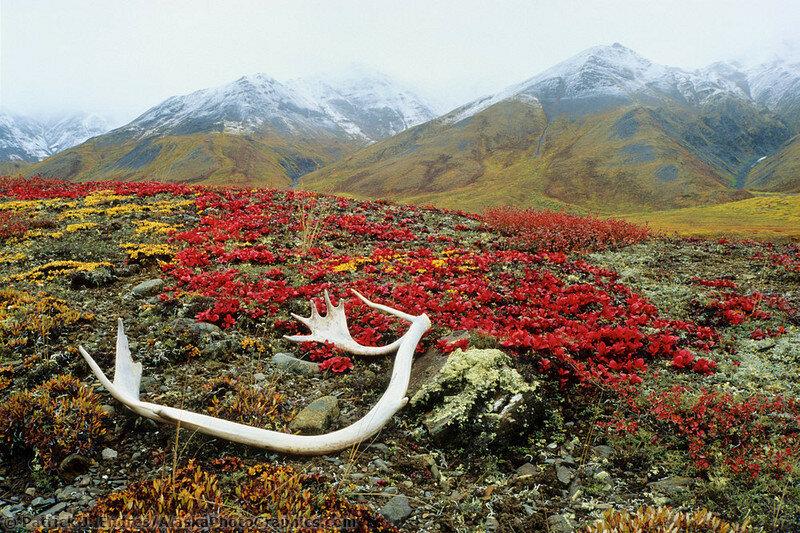 Caribou antlers, Brooks range