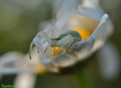 Мизумена косолапая (паук цветочный, бокоход) / Misumena vatia
