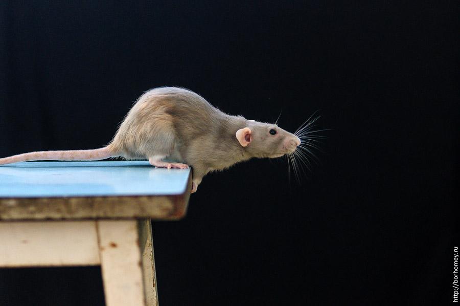 крыса готовится к прыжку