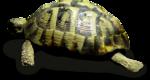 priss_laprimavera_turtle_sh.png