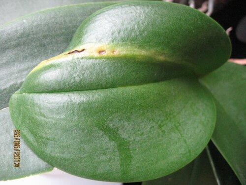 пятна на листе фаленопсиса