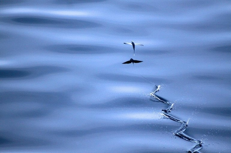 Летучая рыба Exocoetidae