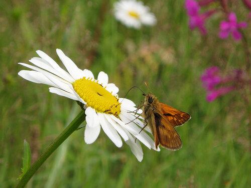 Альбом:  Мир под ногами/  Чешуекрылые - Lepidoptera / Hesperiidae - Толстоголовки Автор фото: Владимир Брюхов