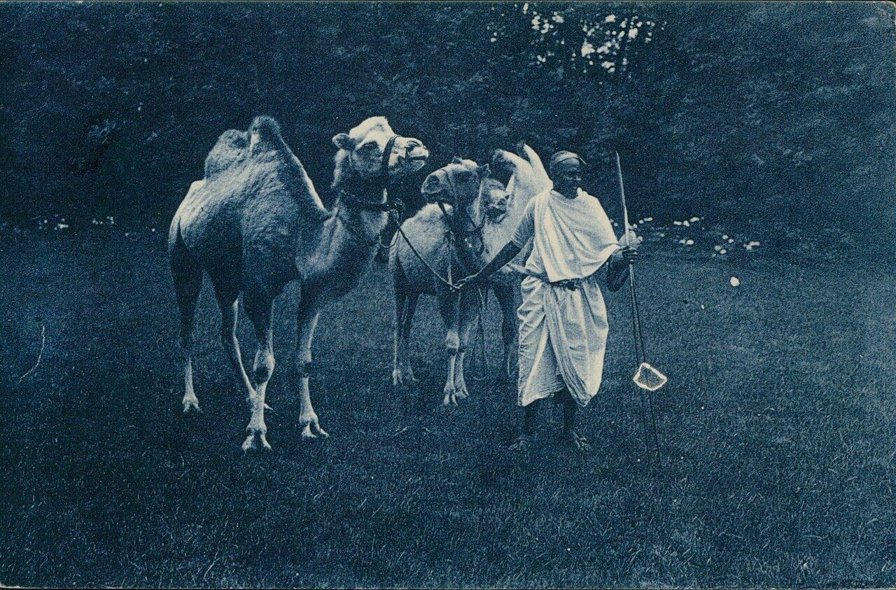 Верблюды в Антонине