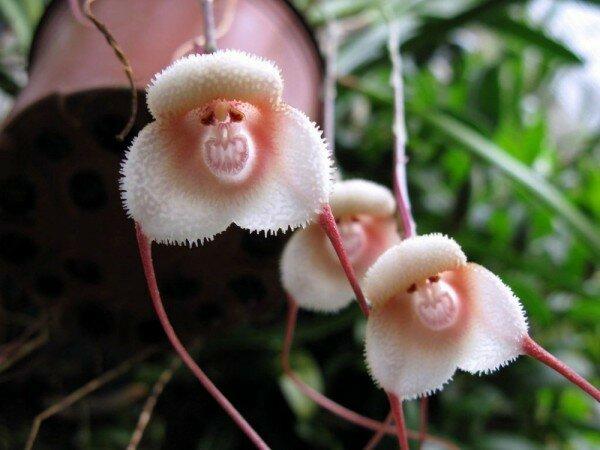 Орхидея википедия цветок