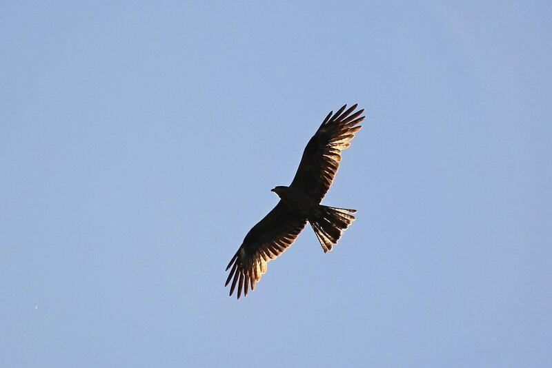 Чёрный коршун (Milvus migrans), крылья которого просвечивают в лучах вечернего солнца