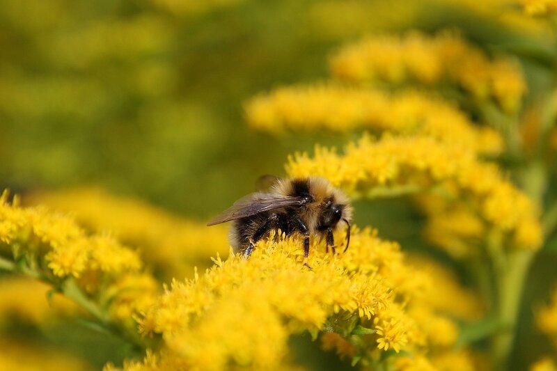 Шмель собирает нектар на жё\лтых цветах северной мимозы 7034