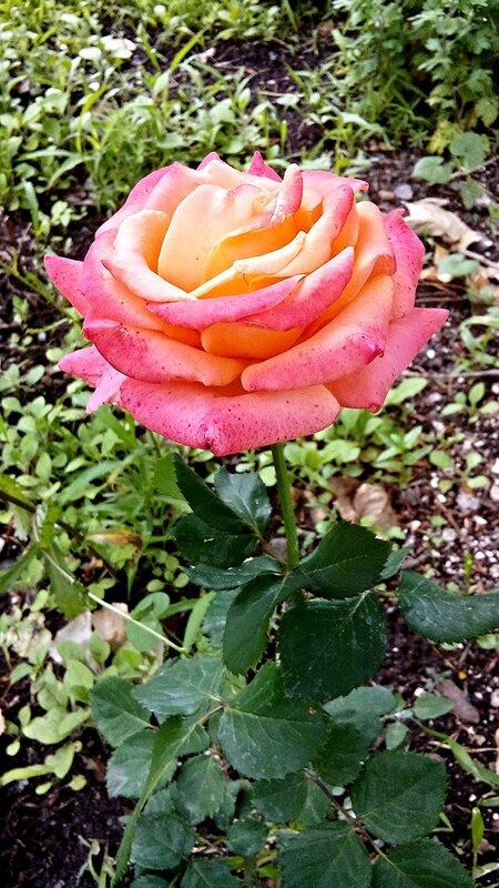 Роза-14.jpg