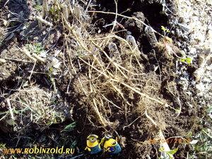 корни сорняка