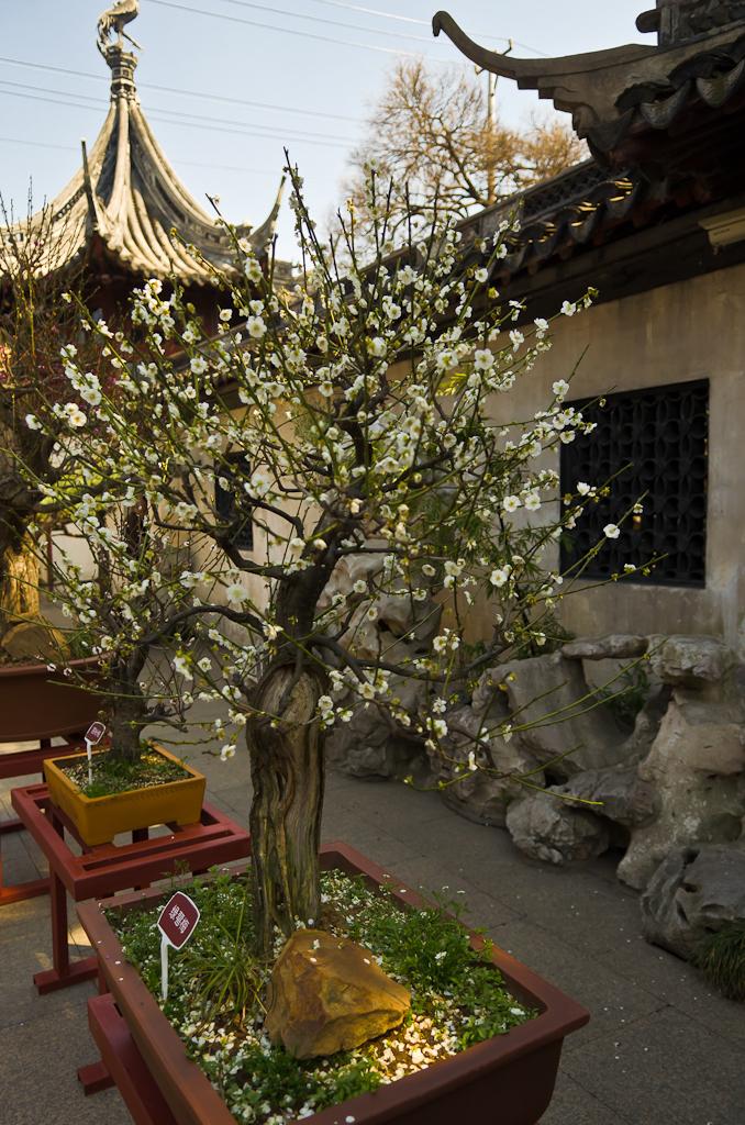 5. Сакура. Один день в Шанхае. Поездка по Китаю дикарем.