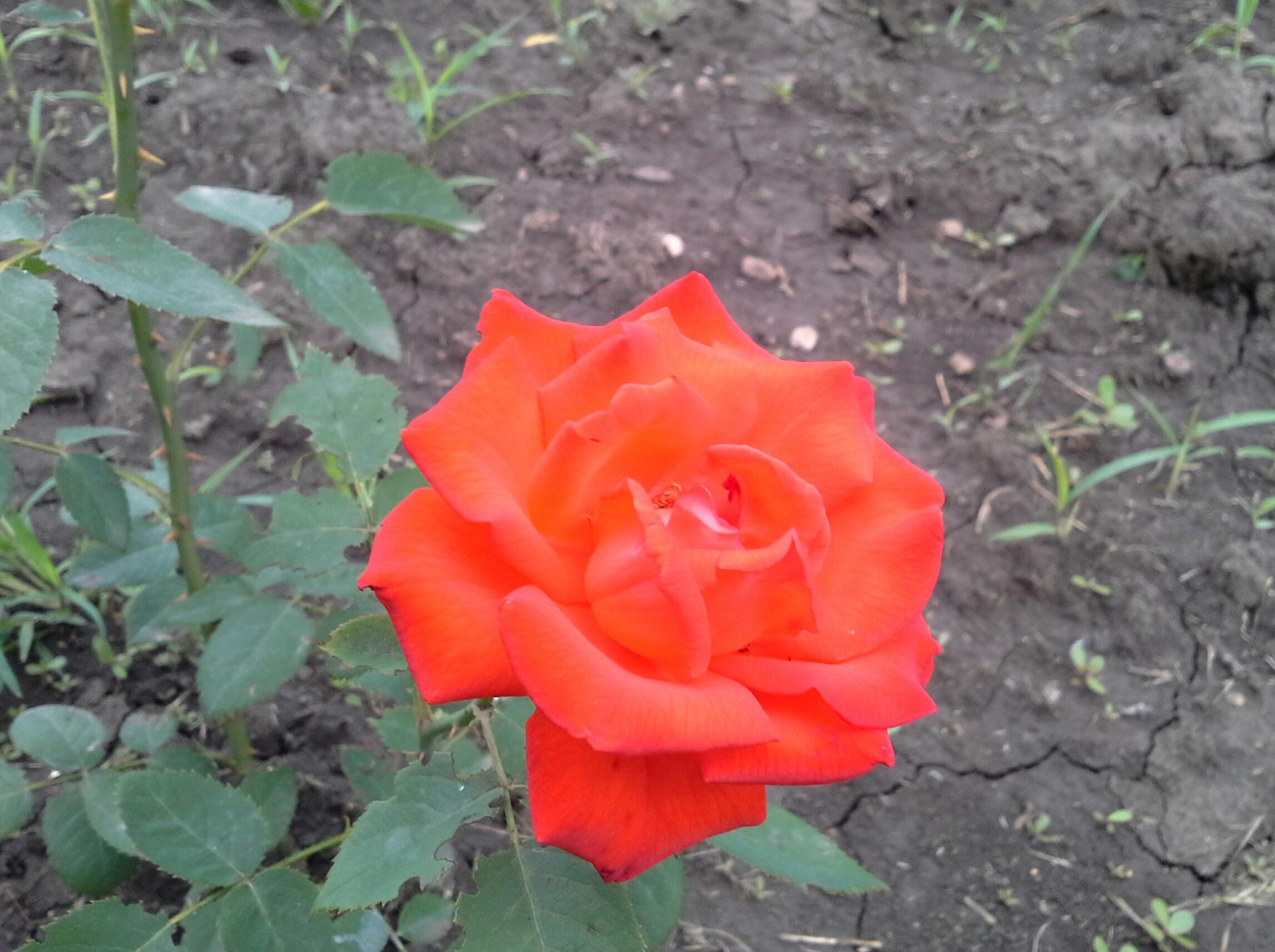 роза тосканини шраб