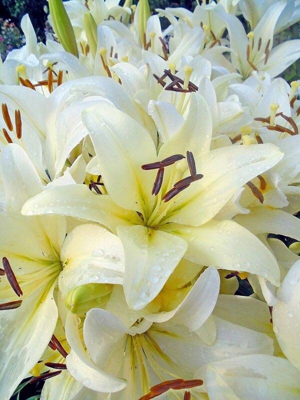 Лилии райского садика после дождя