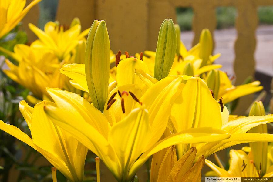 Жёлтые цвет лилии