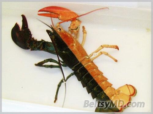 Самка омара с редким окрасом — одна на 50 млн
