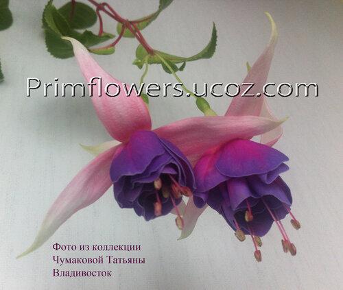 НОВИНКИ ФУКСИЙ. - Страница 2 0_f6c85_66e3721a_L