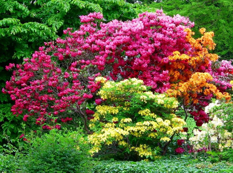 Уголок цветущих вересковых