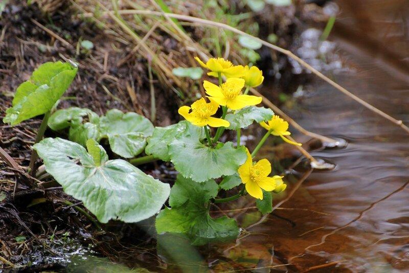 Цветёт калужница болотная (Caltha palustris) в ручье Фетисовка у привала