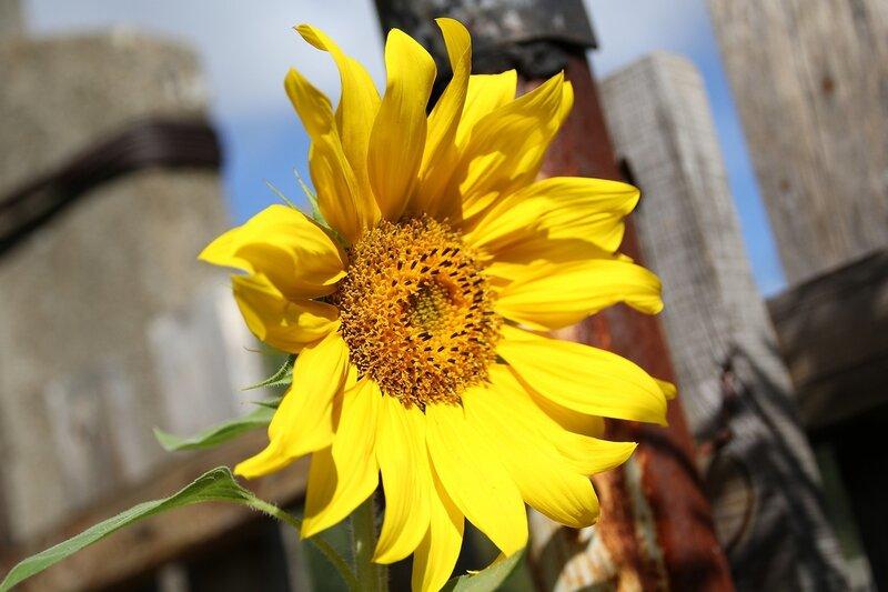 Жёлтый цветок подсолнуха 7314