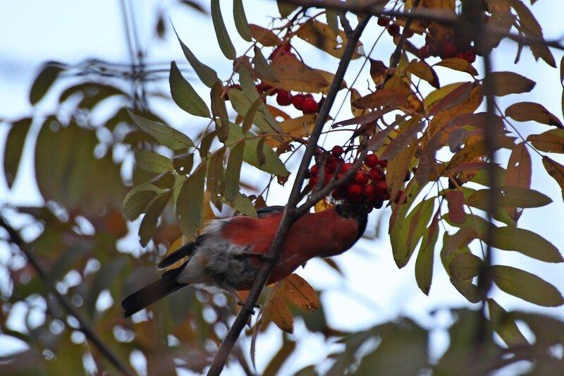 Снегирь поедает ягоды рябины Img_8678