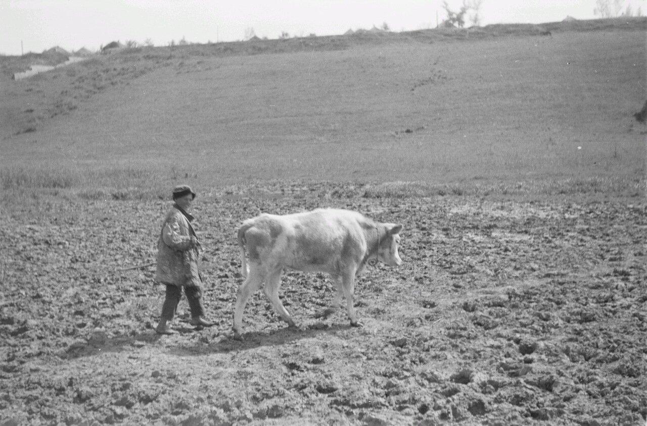 Белгородская область. Подросток с теленком