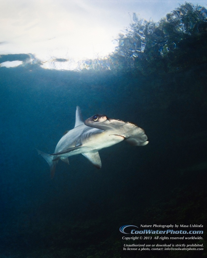 Scalloped Hammerhead Shark Juvenile