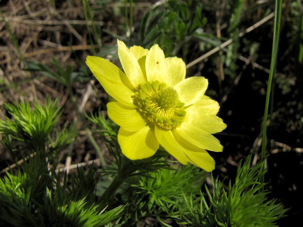Адонис весенний (Adonis vernalis) Автор фото: Привалова Марина