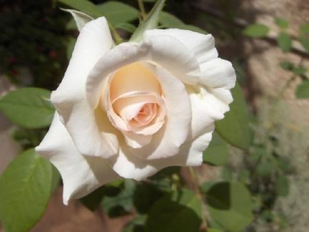 Белая роза красавица