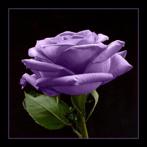 Волшебная роза открытка поздравление картинка