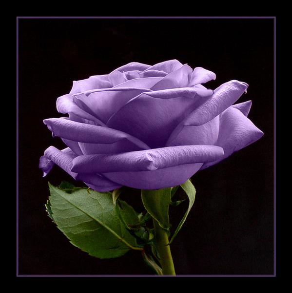 Чарівна троянда листівка фото привітання малюнок картинка