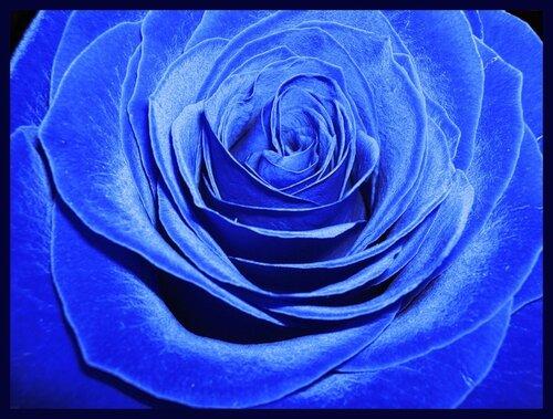 Голубая роза открытка поздравление картинка