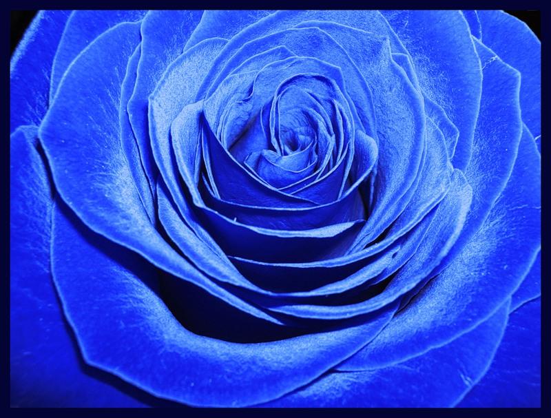 Блакитна троянда листівка фото привітання малюнок картинка