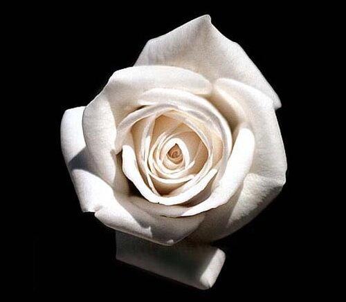 Белая роза на черном фоне открытка поздравление картинка