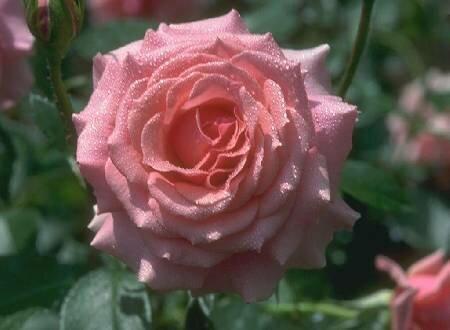 Мокрая розовая роза открытка поздравление картинка