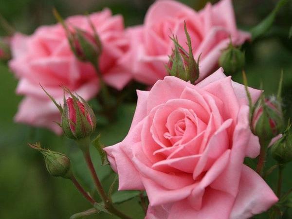 Расцвели у нас пышные розы
