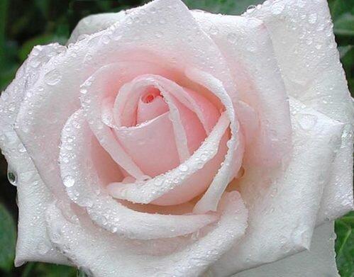 Роза белая в карлях росы открытка поздравление картинка