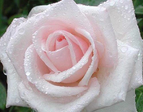 Роза белая в карлях росы