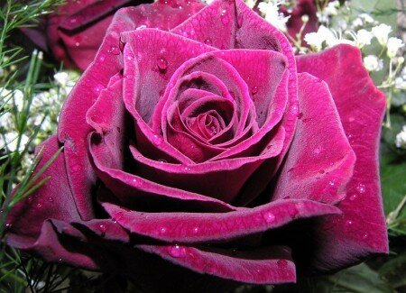 Роза прекрасна открытка поздравление картинка