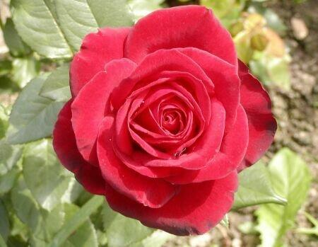 Роза открытка поздравление картинка