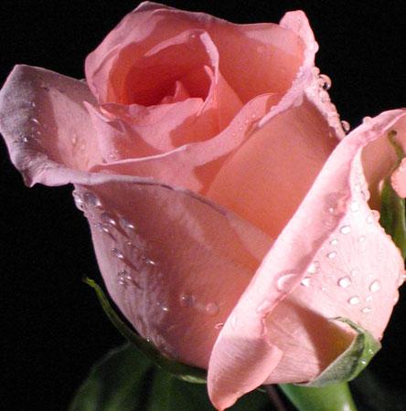 Рожева троянда на чорному тлі листівка фото привітання малюнок картинка