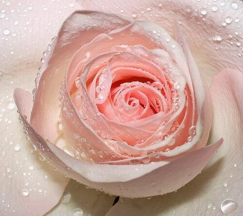 Роса на розе открытка поздравление картинка