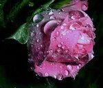 Розы и букеты роз. Прекрасные анимированные картинки рисунок поздравление открытка фото картинка
