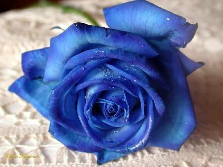 Синяя роза открытка поздравление картинка