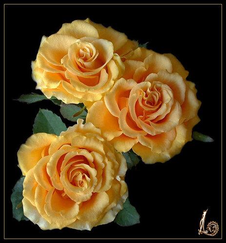 Три розы на черном фоне открытка поздравление картинка