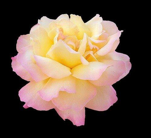 Совершенство красоты. Роза открытка поздравление картинка