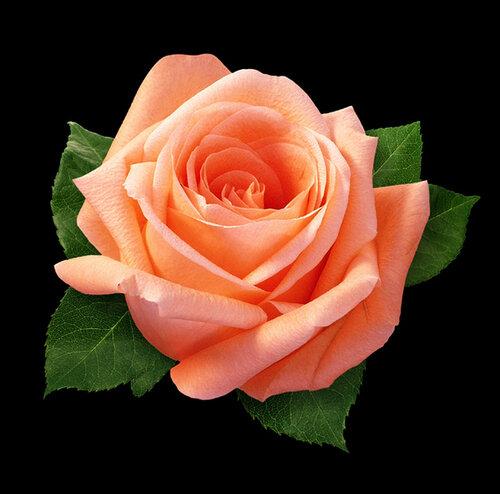 Свежая роза открытка поздравление картинка